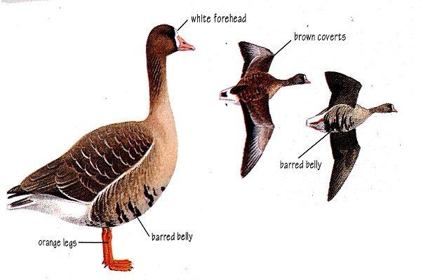 White-fronted-goose-bird-identification