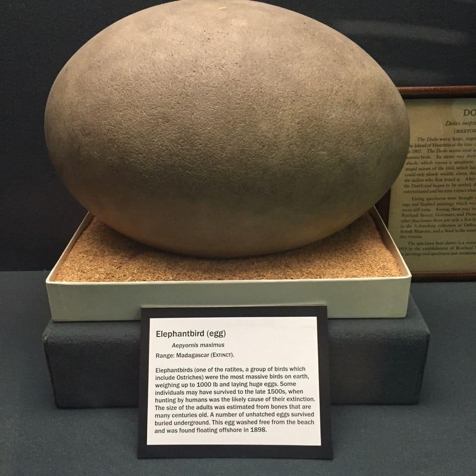 Aepyornis-maximus-egg