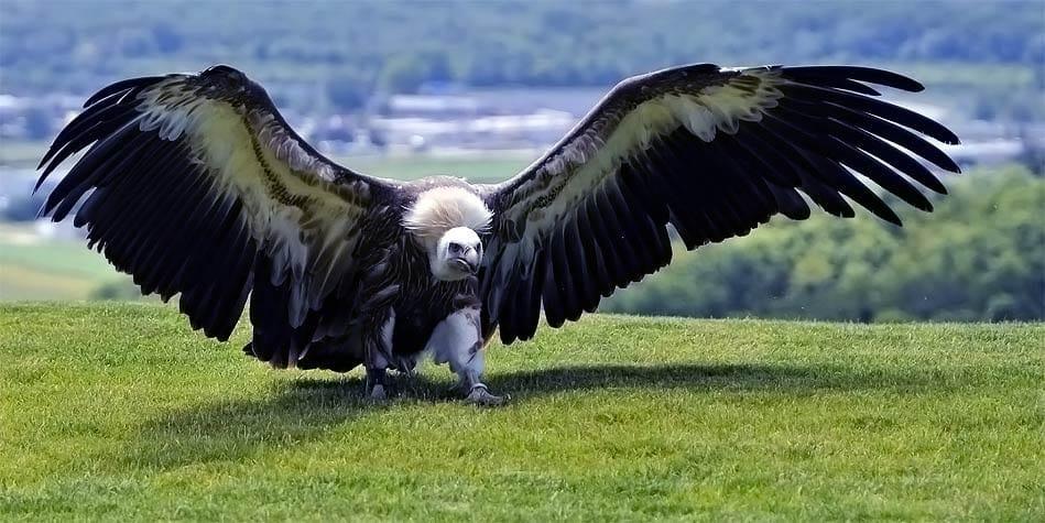 Argentavis-magnificens-largest-bird-which-ever-flew