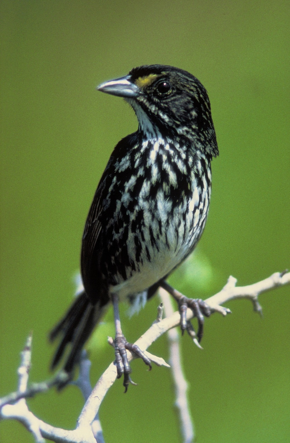 Dusky Seaside Sparrow bird facts and information