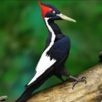 Ivory-billed-woodpecker-bird-information-facts