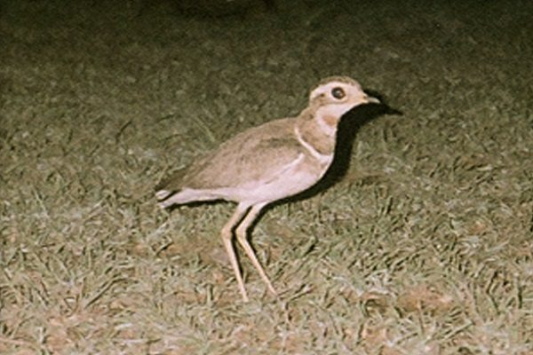 Jerdon's or Double-Banded Courser