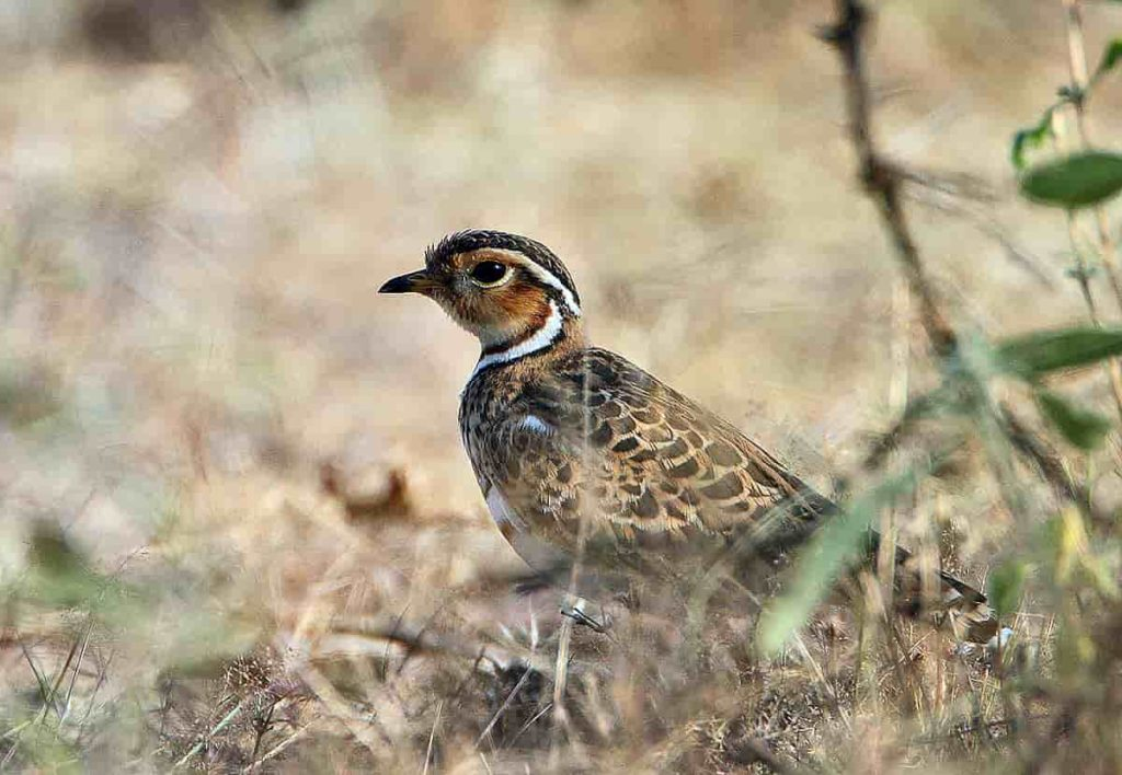 Jerdon's or Double-Banded Courser bird habitat