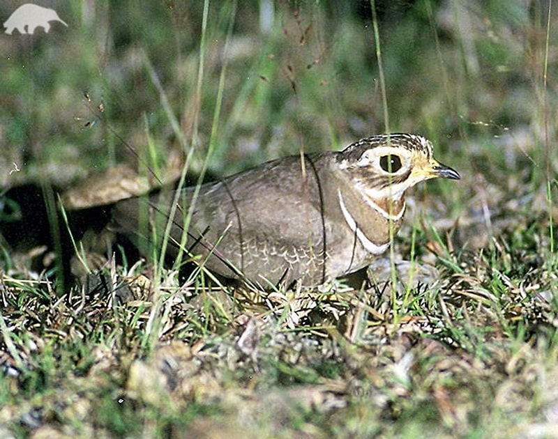 Jerdon's or Double-Banded Courser bird history