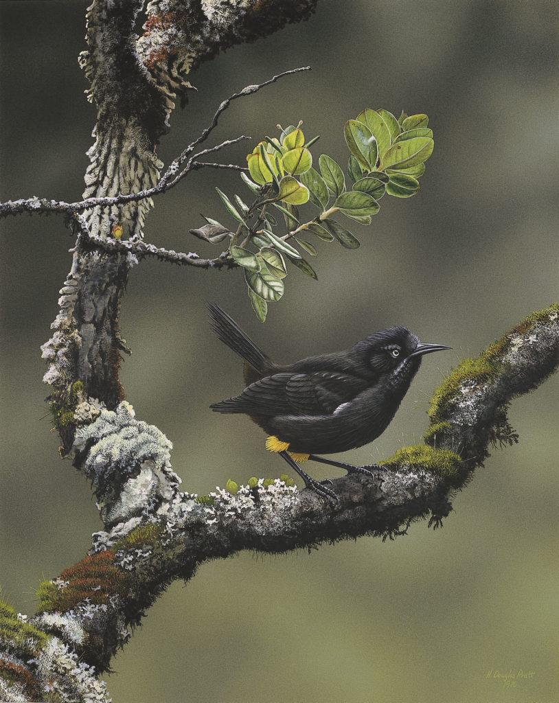Kauai-o-o-aa honeyeaters-moho braccatus bird