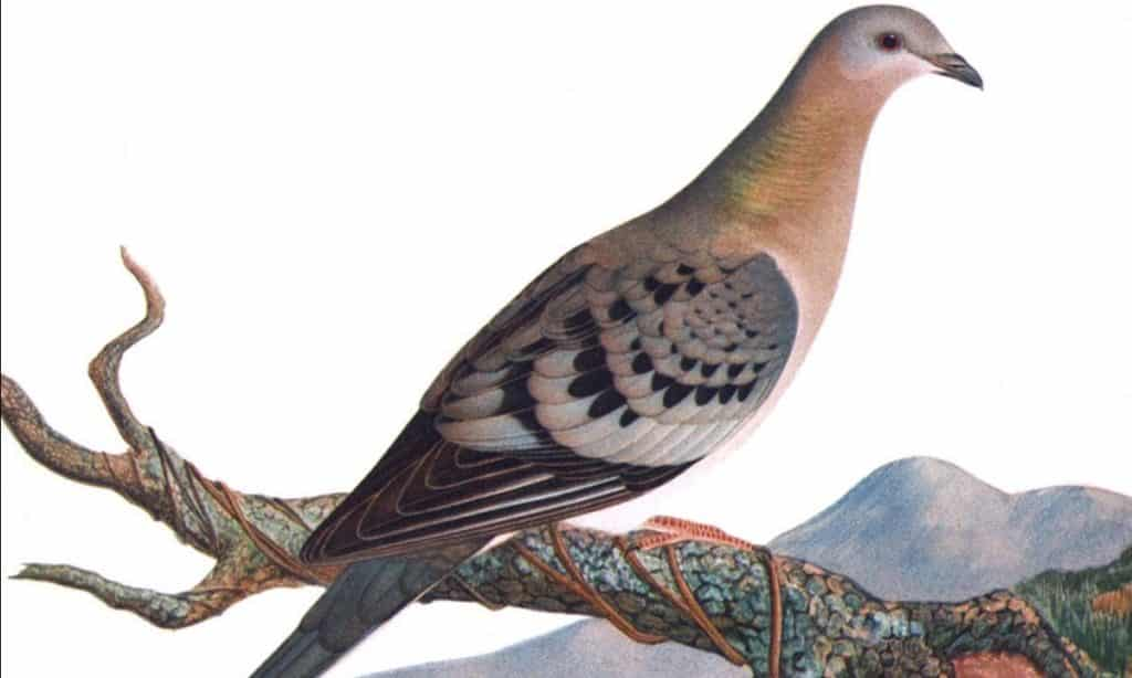 Passenger Pigeon - The Most Numerous Bird Ever