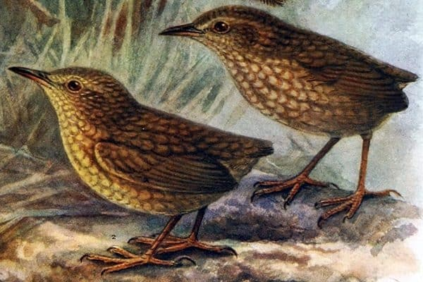 Stephens Island Wren - The smalles flightless bird ever