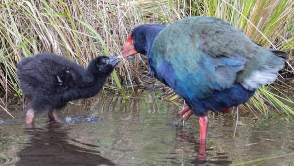 Takahe bird - Rarest birds in the world