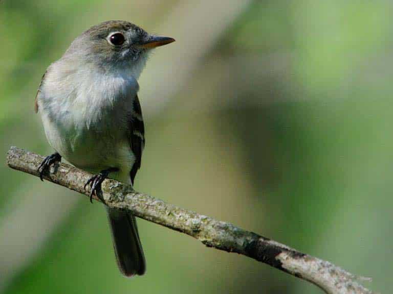 Tyrant Flycatcher bird habitat