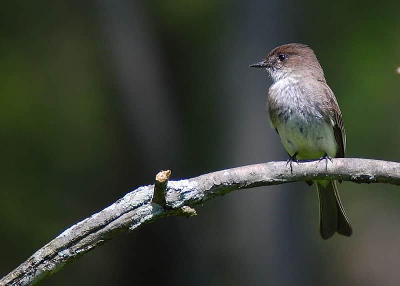 Tyrant Flycatcher bird history