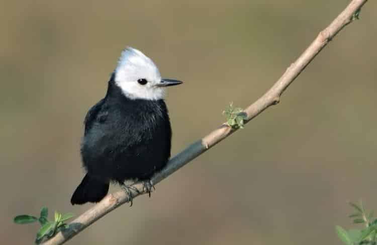 Tyrant Flycatcher bird sizes and species
