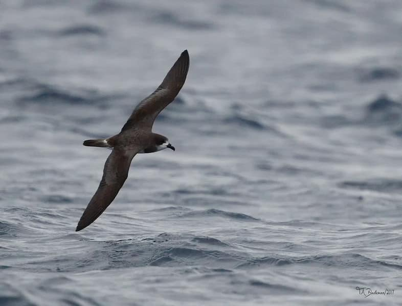 Bermuda Petrel - Most endangered bird in the world
