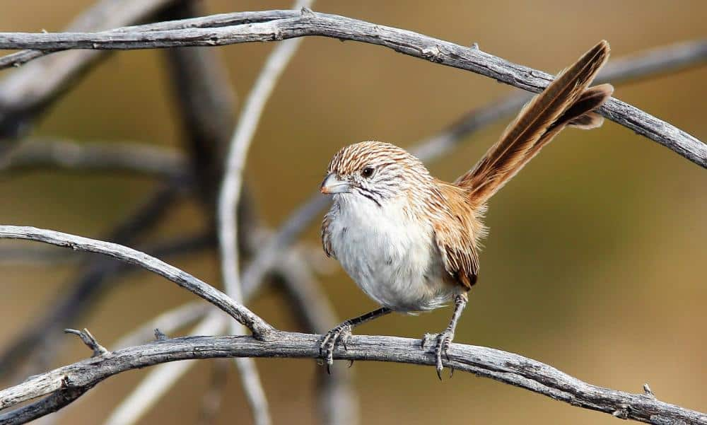 eyrean-grasswren-rare-birds