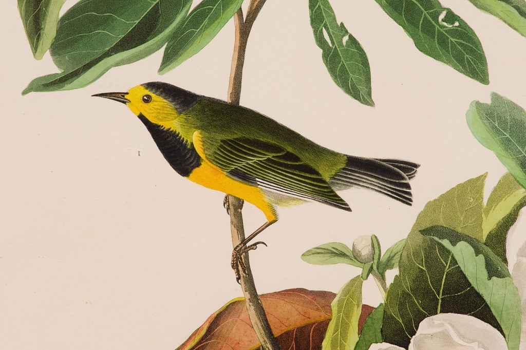 Batchman's Warbler Birds Facts and Information