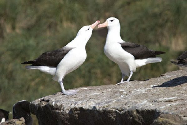 Black-Browed Albatross Bird
