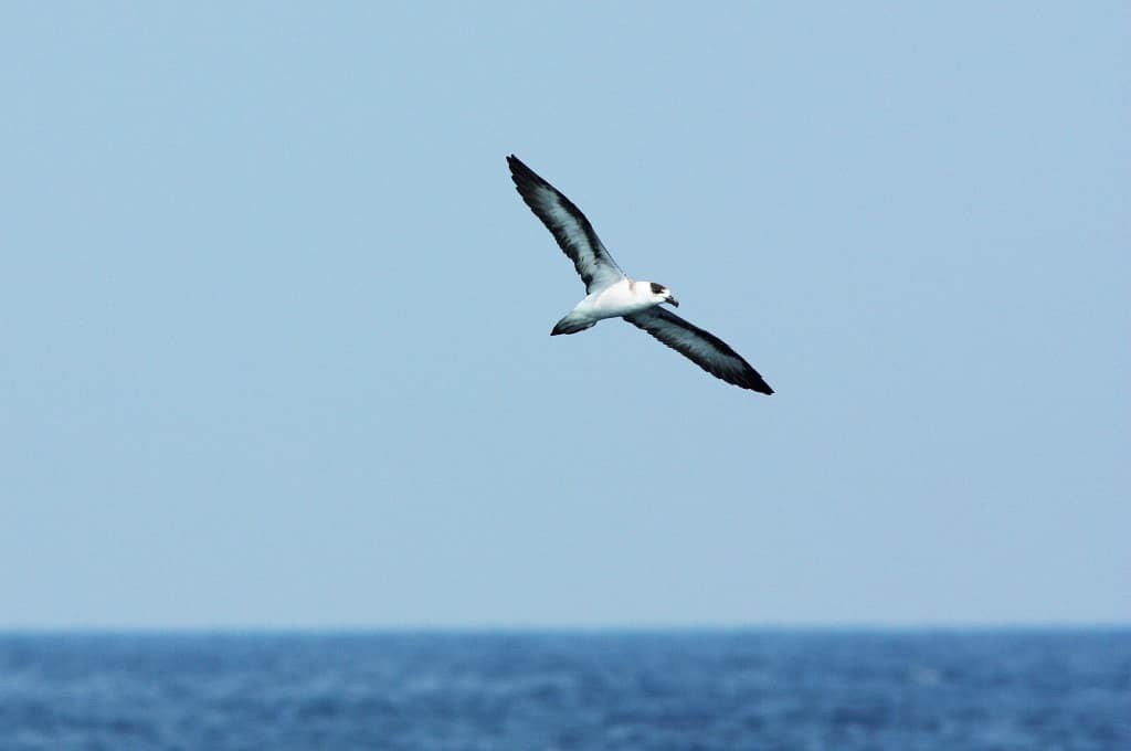 Black-capped-Petrel-Bird-Facts-and-Information