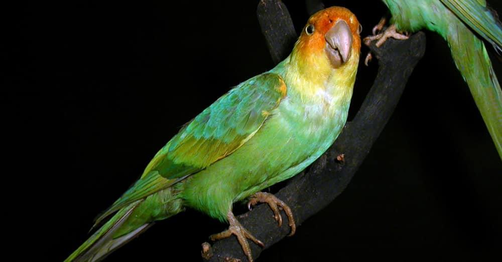 Carolina parakeet - Rarest Parrots in the world