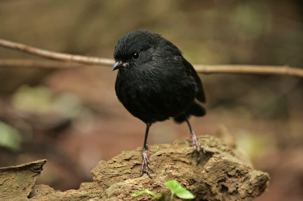 Chatham-Island-Black-Robin-Bird-History