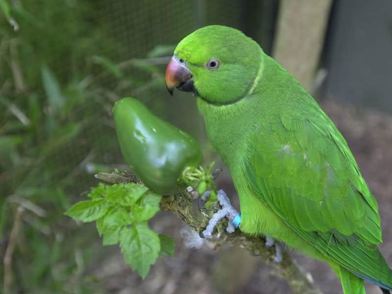 Echo-parakeet-World's-rarest-parrot