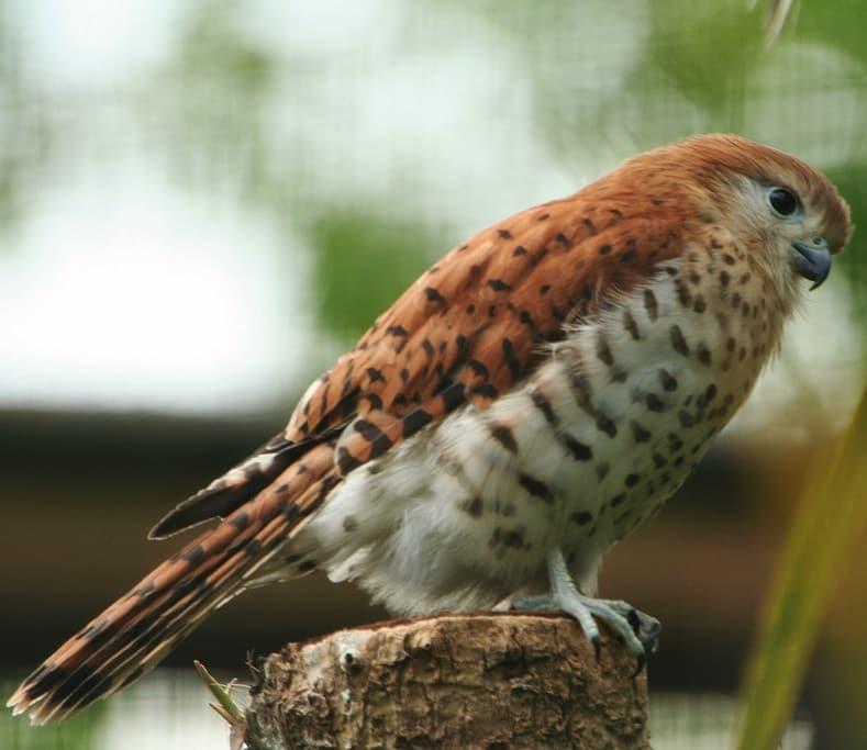 Falco punctatus Bird History