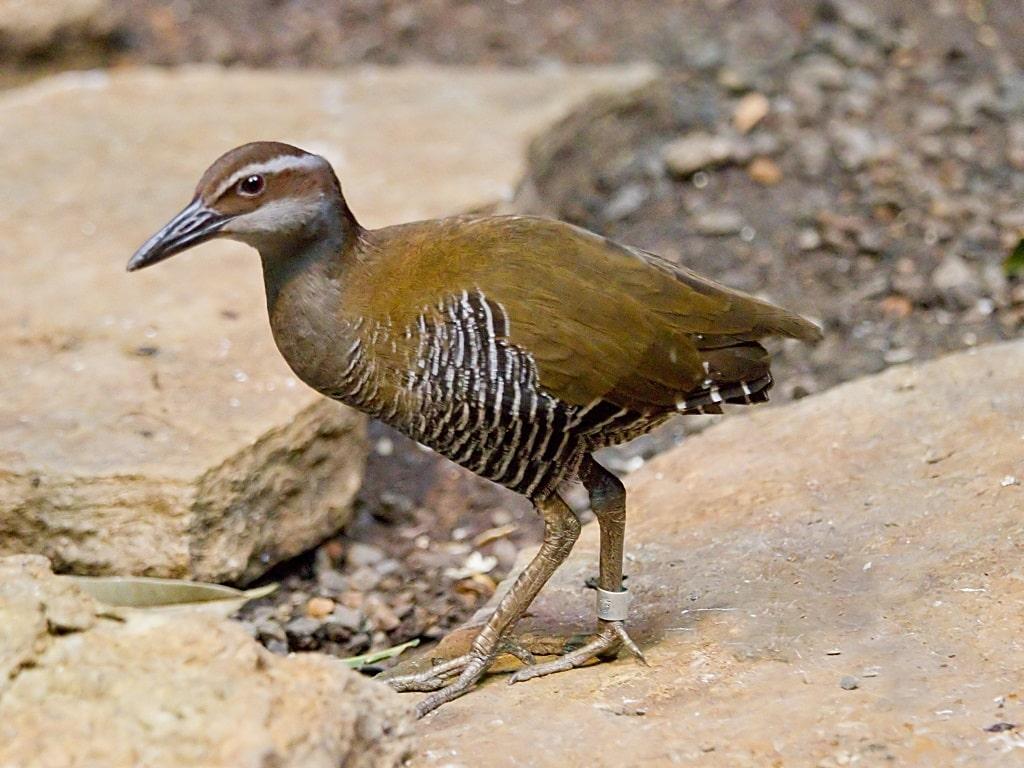 Guam Rail - Habitat-Nesting-Breeding