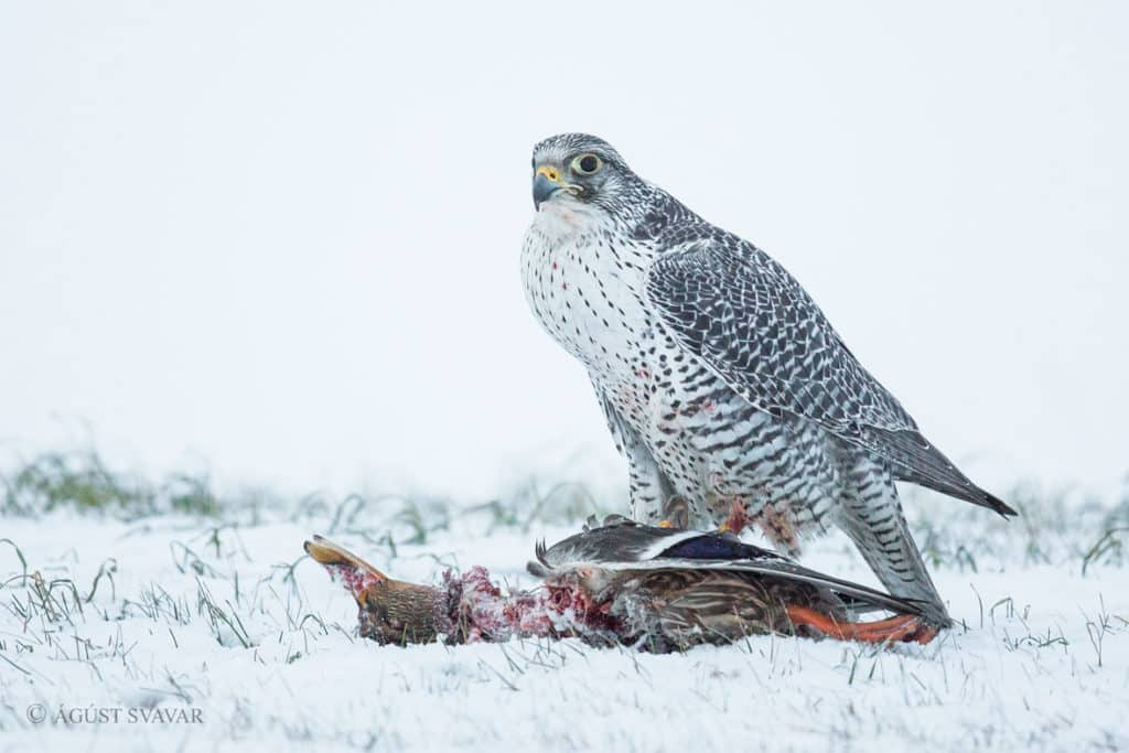 Gyrfalcon - Birds History, Identification