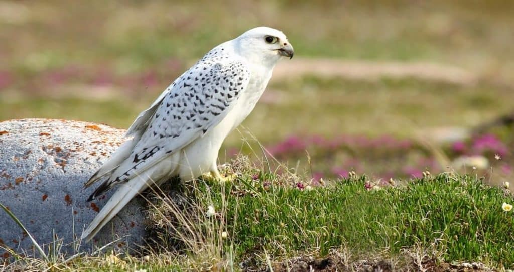 Gyrfalcon - Birds information and Facts