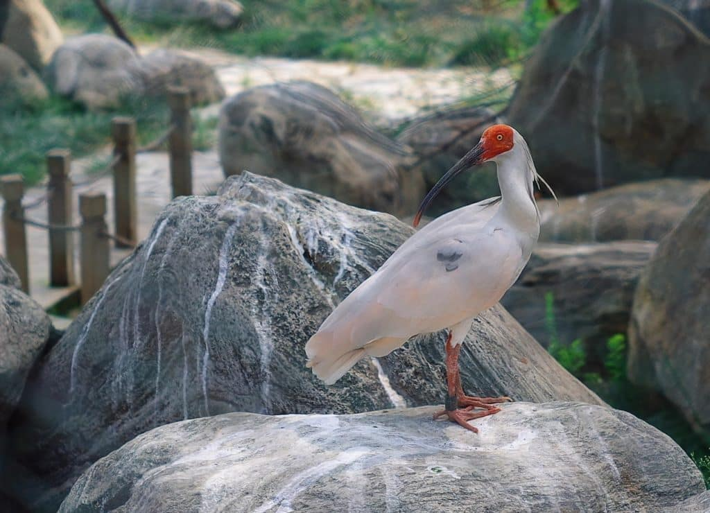 Japanese Crested ibis - Bird History