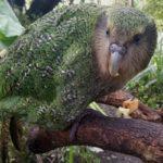 Kakapo-owl-parrot-Strigops-habroptilus