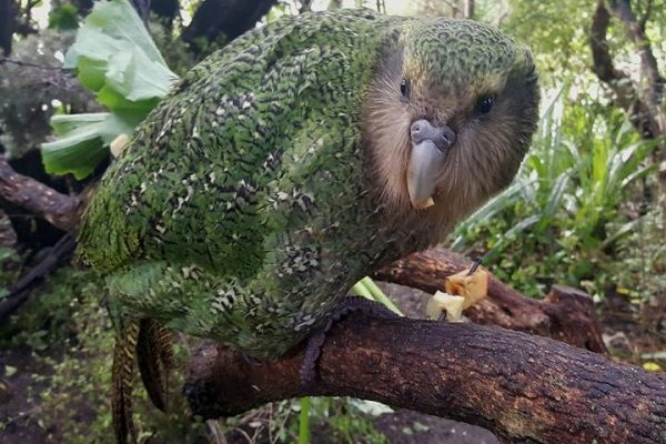 Kakapo – The Owl Parrot