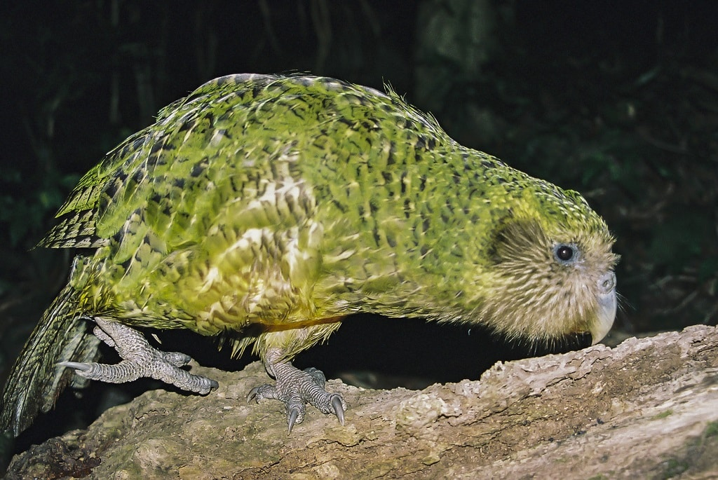 Kakapo-owl-parrot-bird-facts-information