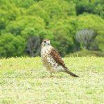 Mauritius Kestrel Bird Habitat