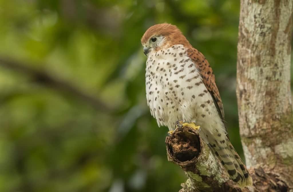 Mauritius Kestrel Bird Nesting and Breeding