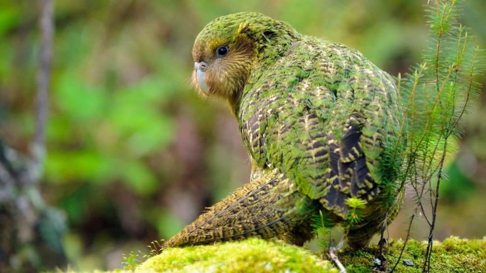 Owl-parrot-Bird-History