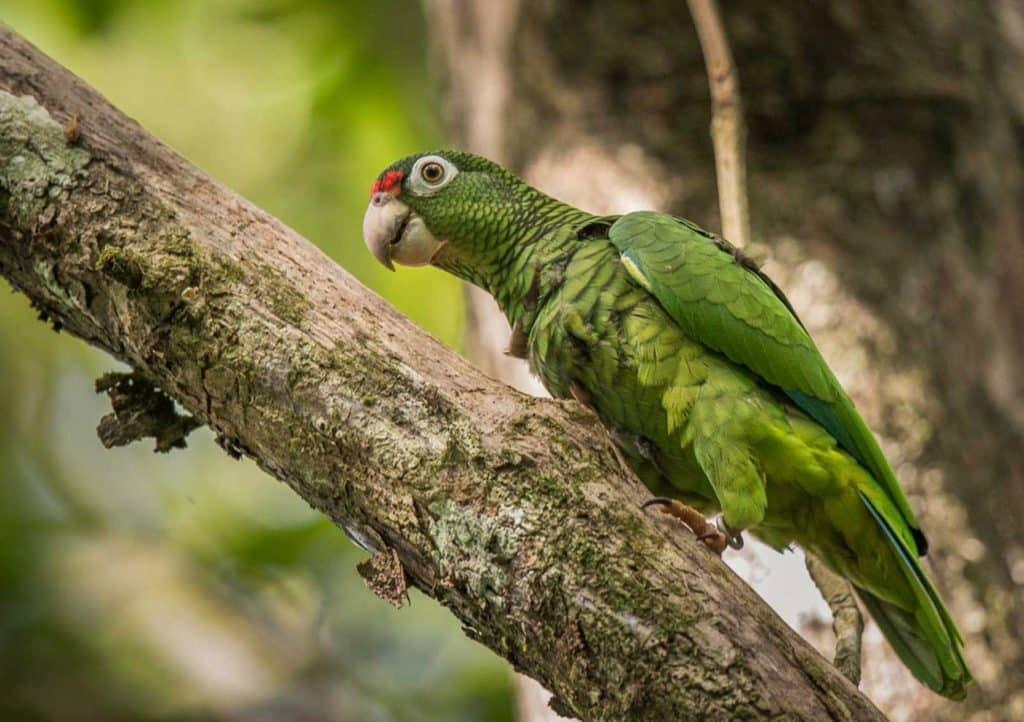 Parrot-Family