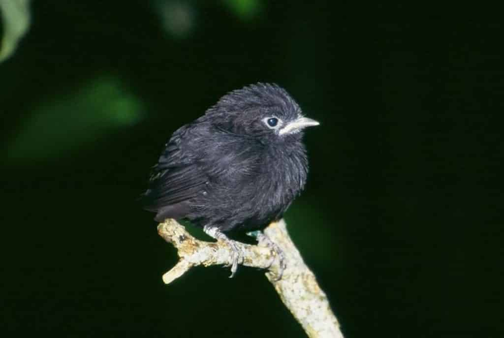 Petroica-Traversi-bird-breeding