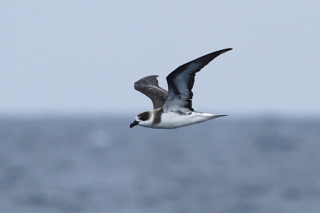 Pterodroma hasitata Bird History