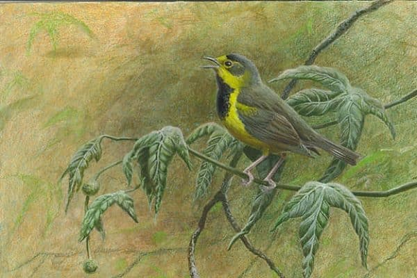 Read more about the article Bachman's Warbler