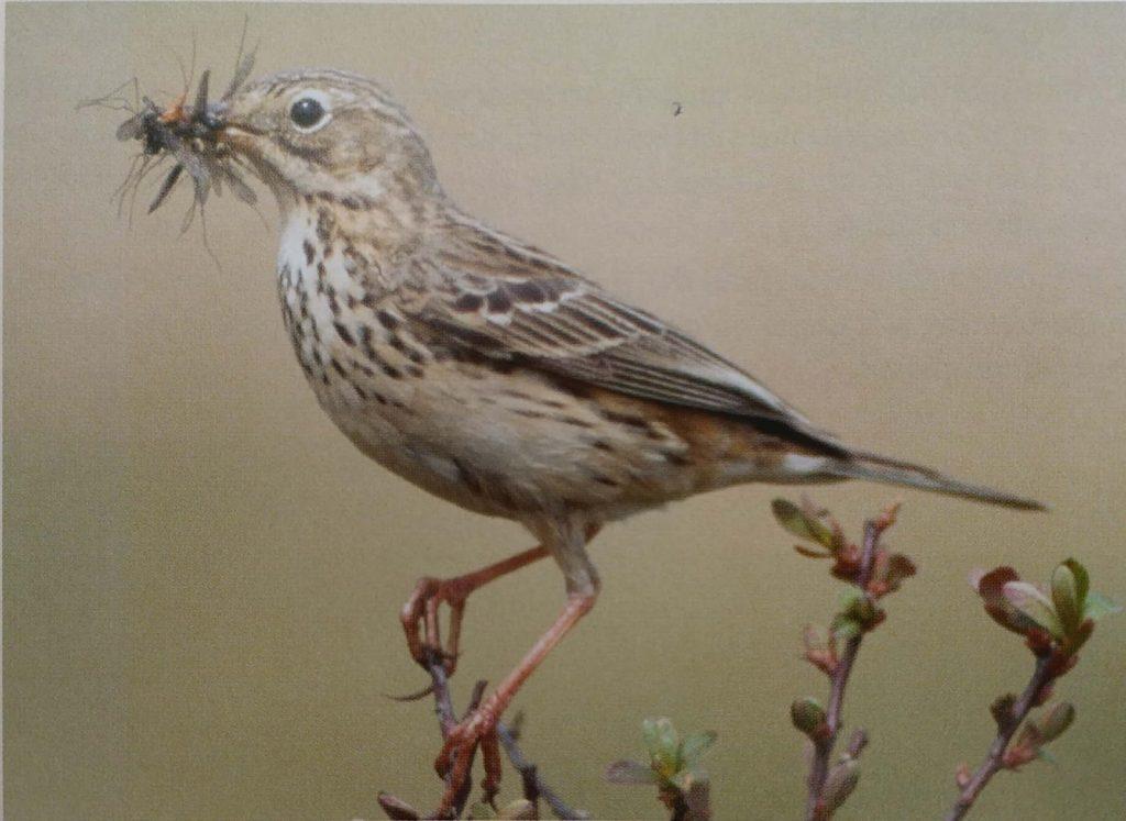 Anthus-Pratensis-Bird-Introduction-Nesting-Habitat-Breeding