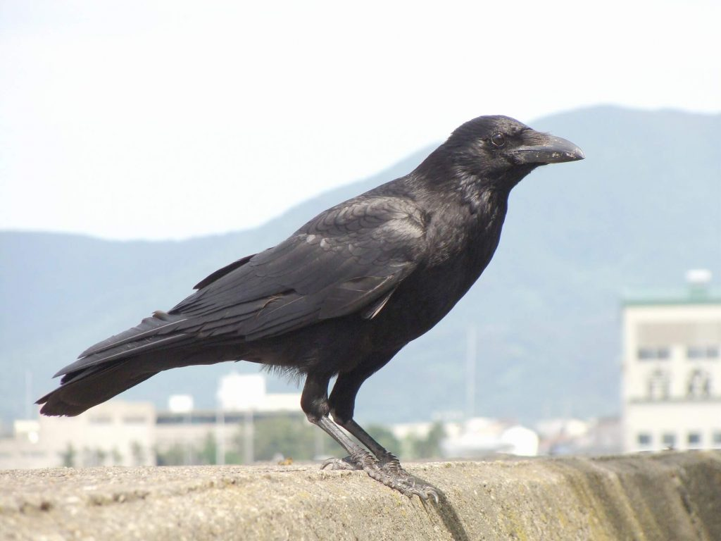 Carrion-crow-bird-information-facts