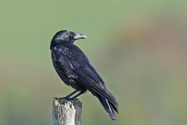 Read more about the article Carrion Crow