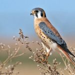 Common-Kestrel-Bird