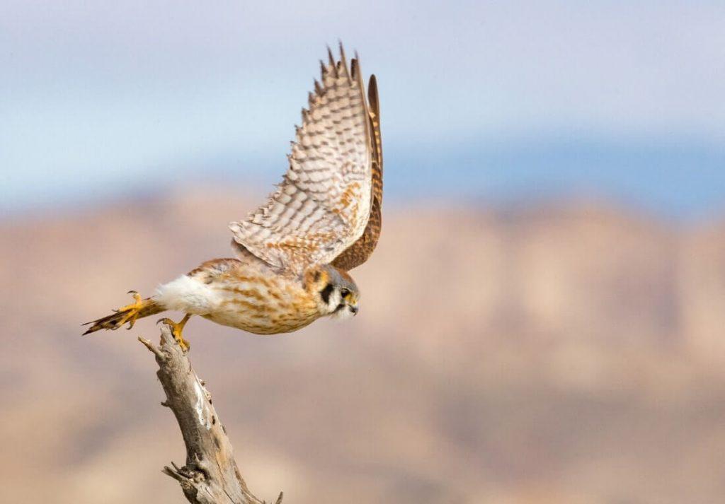 Falco-Tinnunculus-Bird-Habitat-Nesting-Breeding-Diet