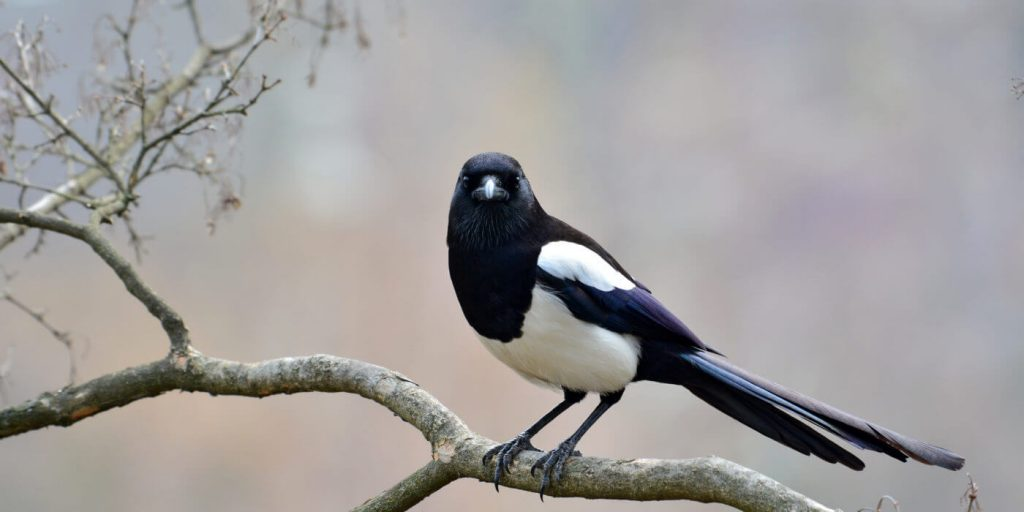 Interesting-Facts-about-Magpie-Bird