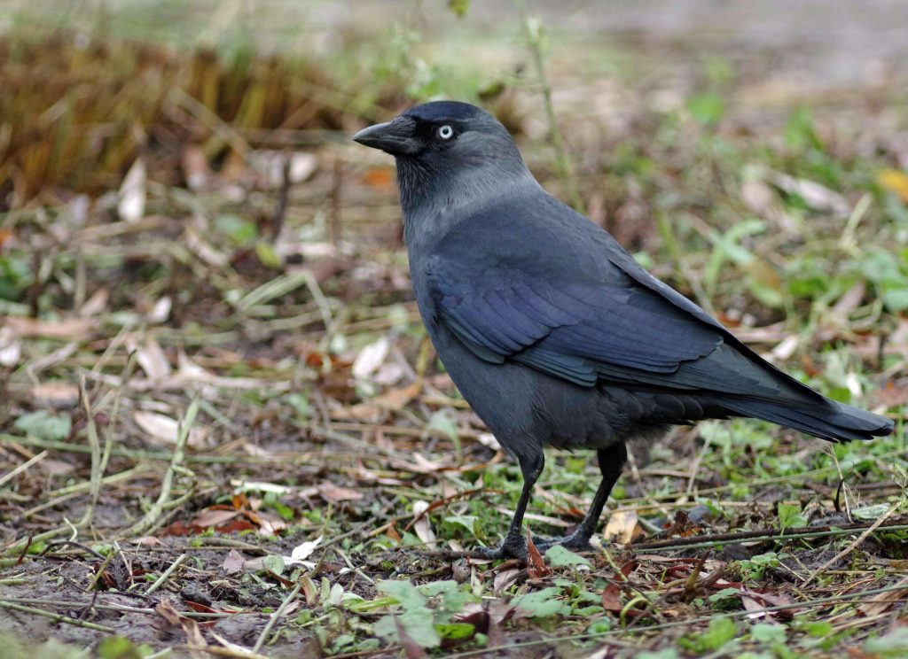 Jackdaw-Bird-information-facts