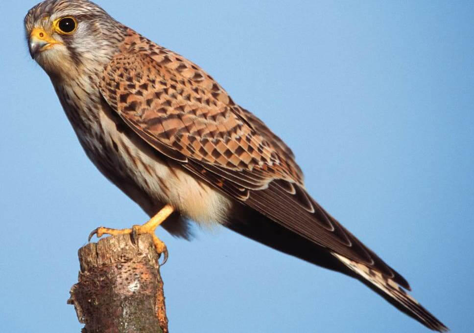 Kestrel-Bird-Identification