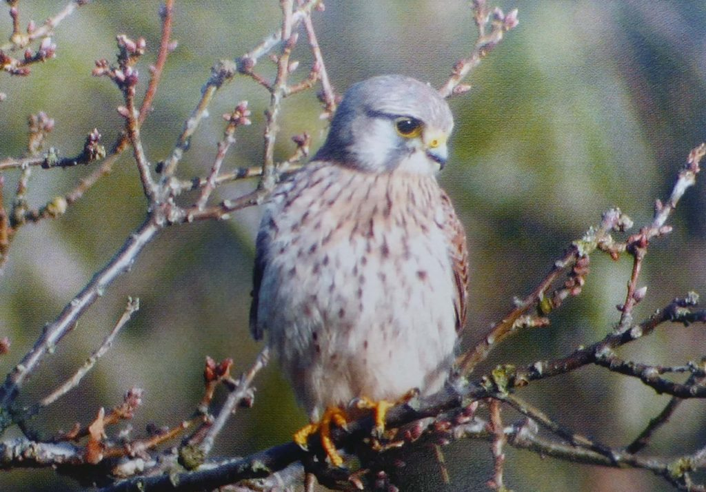 Kestrel-Bird-Introduction