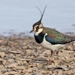 Lapwing-Bird-interesting-facts