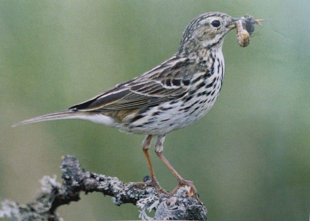 Meadow-pipit-bird-identification