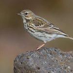 Meadow-pipit-bird-information